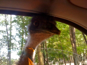 An Emu sticks its head in the car