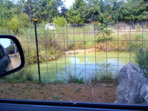 There are two gators in there, hard to see in the picture.